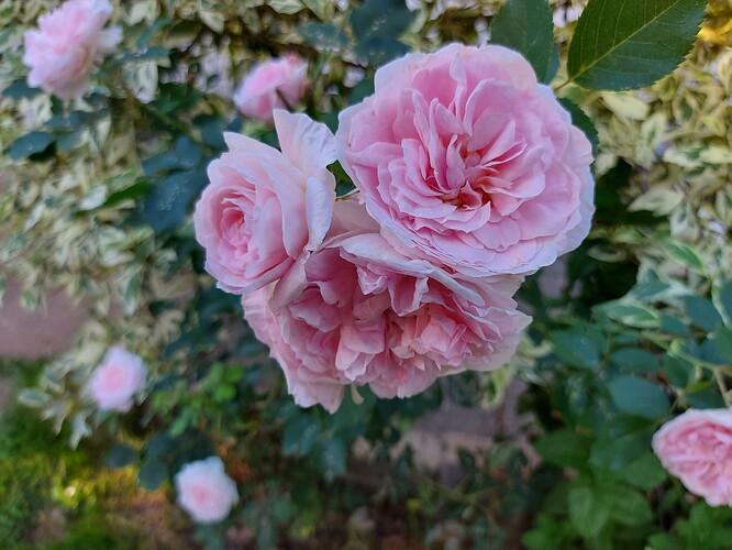 2021 06 22  Rose  Morden Blush