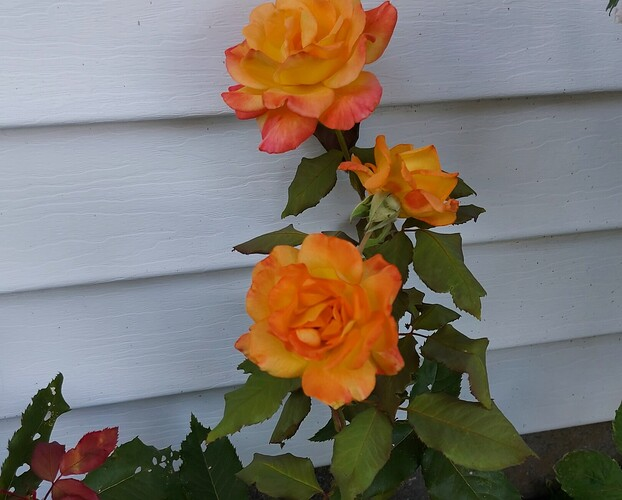 2021 08 02  Rose  Rio Samba