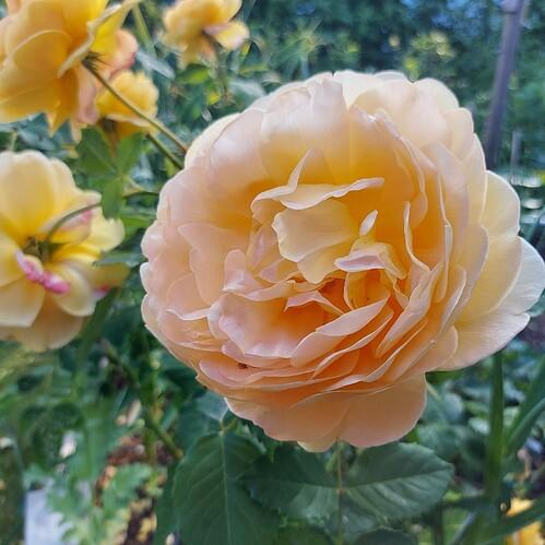 2021 06 21  Rose  Golden Celebration (1)